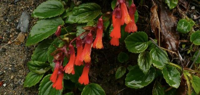 Christoph Heibl -- Chilean plant database